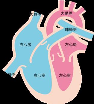 心臓の説明